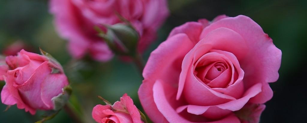 rose-615268_1280